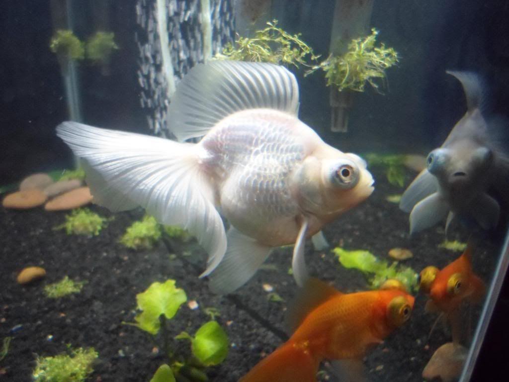why is my goldfish turning white
