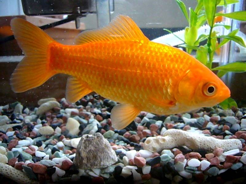 how long do goldfish live without food