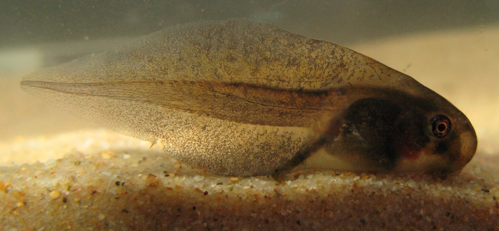 What does a Tadpole eat