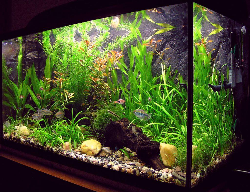 Brown algae on aquarium plants