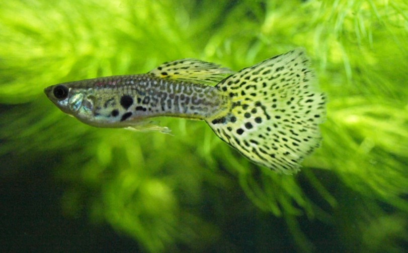 Can Guppies live with Angelfish?