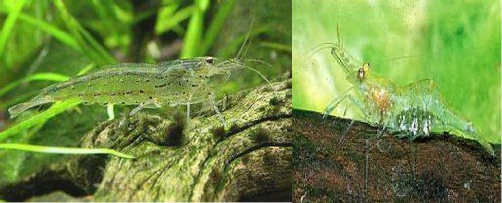 amano shrimp vs ghost shrimp