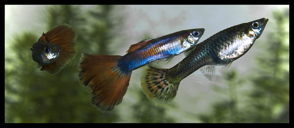 Do Guppies Need a Filter