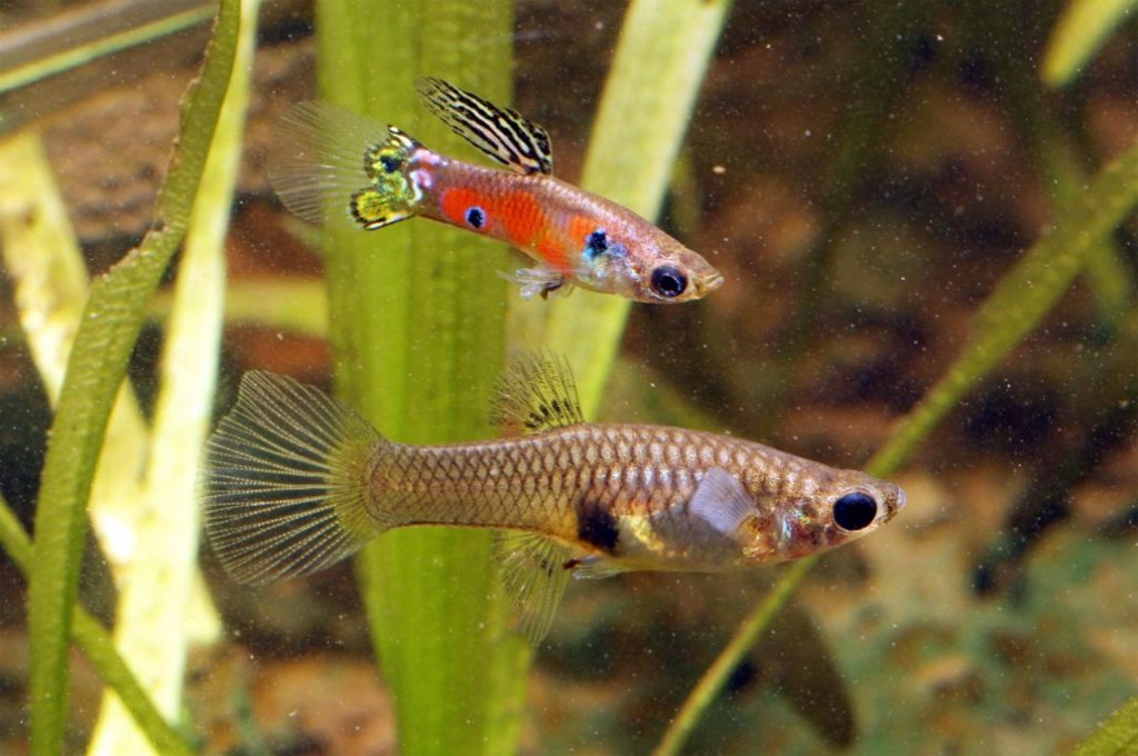 Do guppies die after giving birth