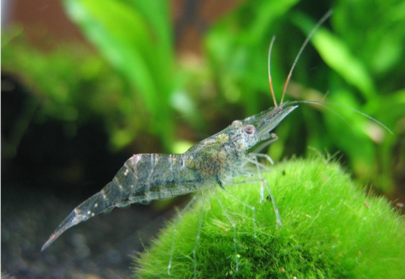 Ghost Shrimp Molting