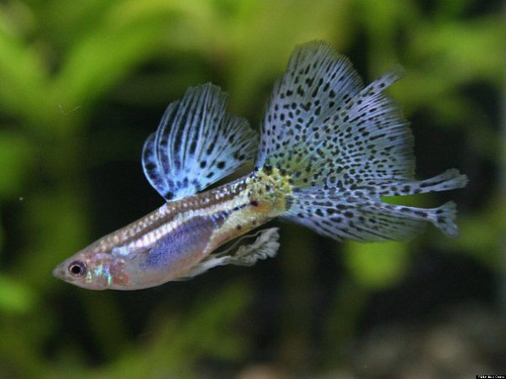 Can Guppies live in cold water