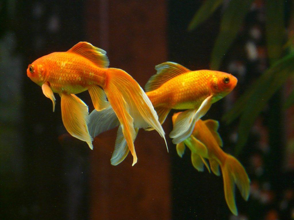 do goldfish eat other fish