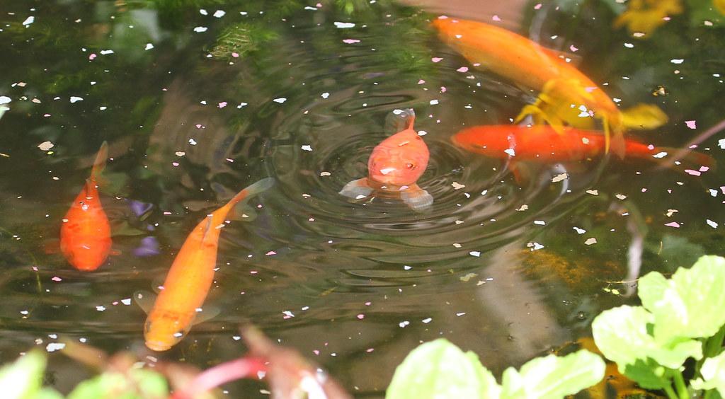 can goldfish eat bread