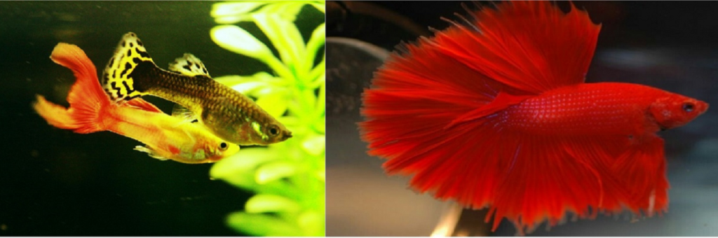 can guppies live with bettas